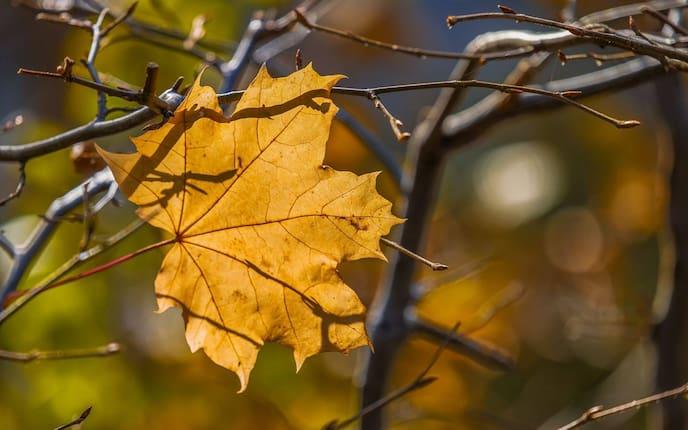 Ahorn Ahornblatt Blätterkunde Herbst Wald Baum Blatt
