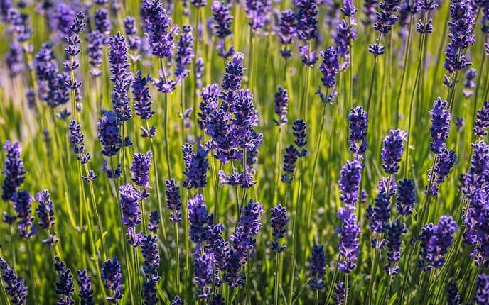 Echter Lavendel, Lavendel, Lavendelsorten, Pflanzenporträt