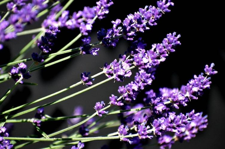 Lavandin, Lavendel, Lavendelsorten, Pflanzenporträt