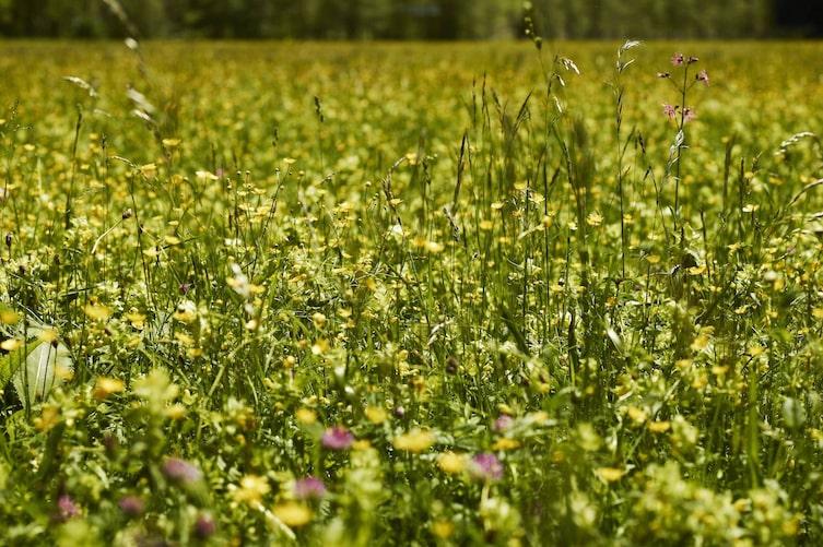 Blumenwiese, Blumen, Wiese, Samen