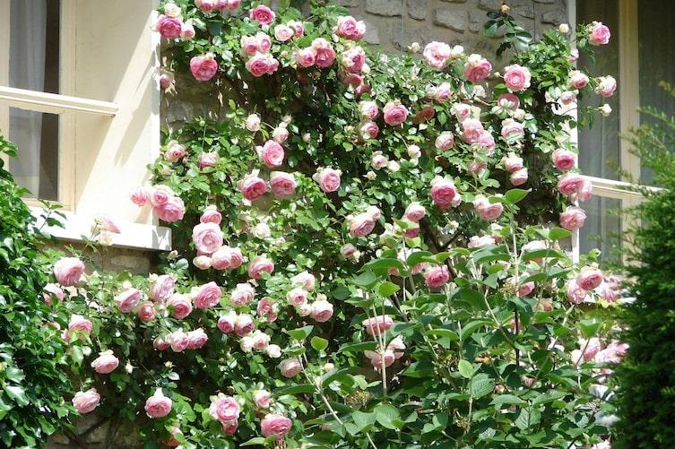 Kletterrose, Rose, Hauswand