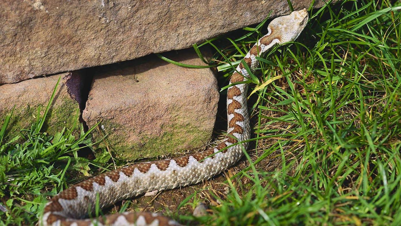 Heimische Schlangen, Sandotter, Sandviper, Giftschlange