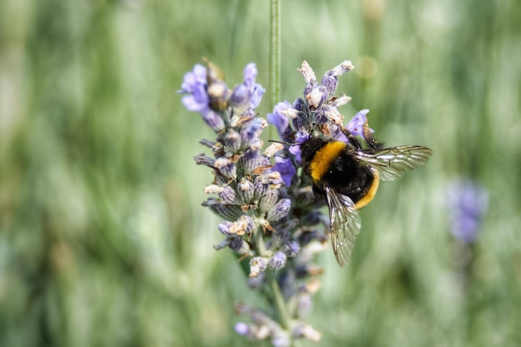 Biene sitzt am Lavendel (Foto: Unsplash)