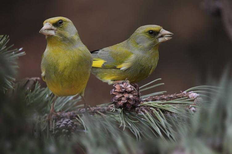 Grünling, Singvogel, Vogeluhr