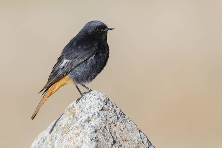 Hausrotschwanz, Singvogel, Vogeluhr
