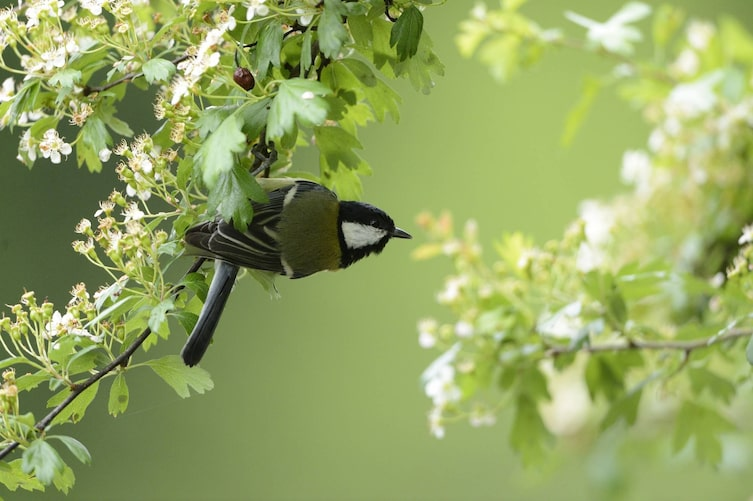 Kohlmeise, Singvogel, Vogeluhr