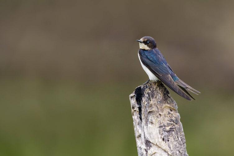 Mehlschwalbe, Singvogel, Vogeluhr