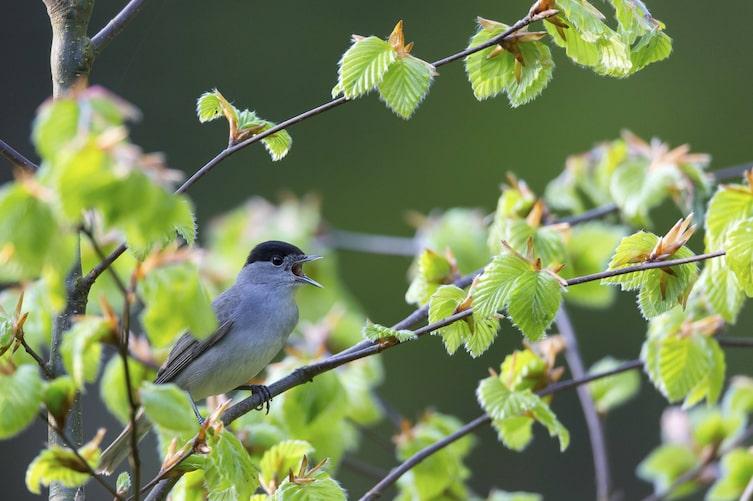 Mönchsgrasmücke, Vogel, Singvogel, Schnabel