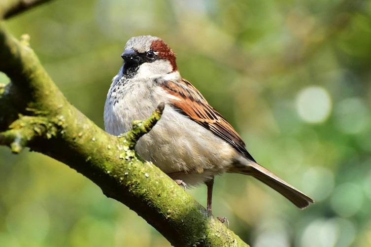 Haussperling, Singvogel, Vogeluhr