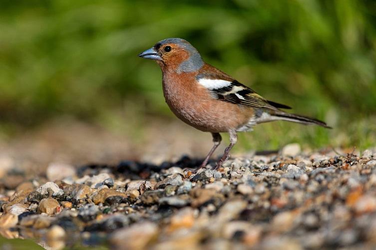 Buchfink, Singvogel, Vogeluhr