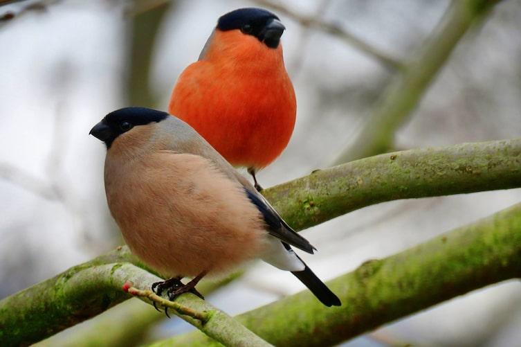 Gimpel, Pärchen, Singvogel, Vogeluhr
