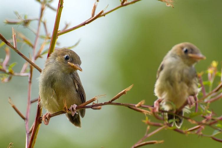 Nachtigall, Singvogel, Vogeluhr
