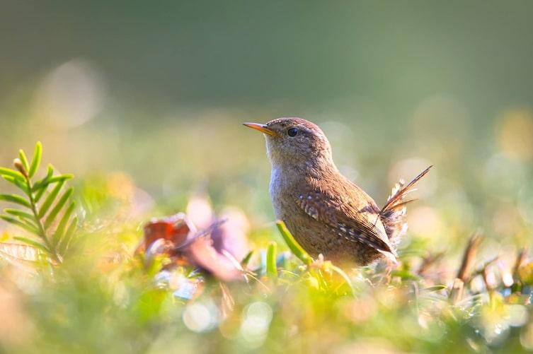 Zaunkönig, Vogel, Singvogel, Vogeluhr