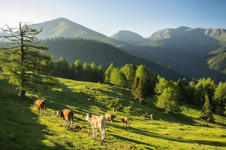Grasende Rinder vor der Bergkulisse. (Bild: Peter Podpera)