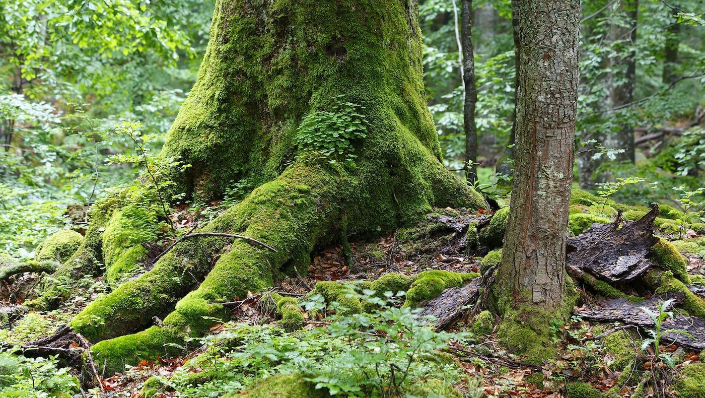 Wildnisgebiet Dürrenstein Rothwald