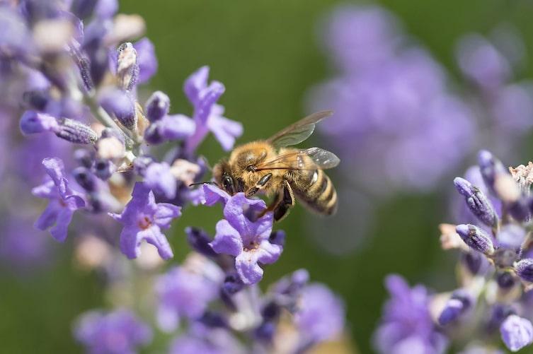 Biene, Lavendelblüte