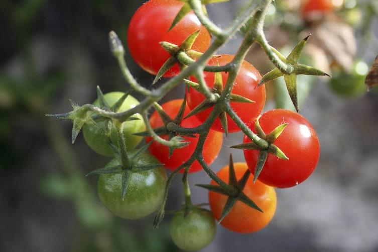 Tomaten (Bild: Luana Baumann-Fonseca)