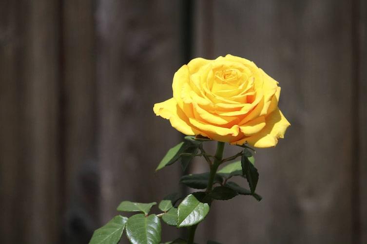 Gartenwissen, Garten, Rosen, schneiden, schützen, Gelbe Rose