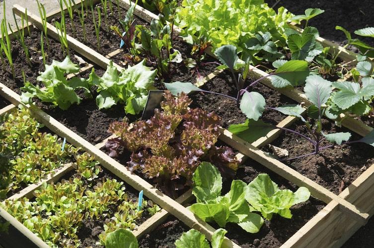Gemüsebeet, Gemüsegarten, Gemüse, Salat, Gartentipp, Garten
