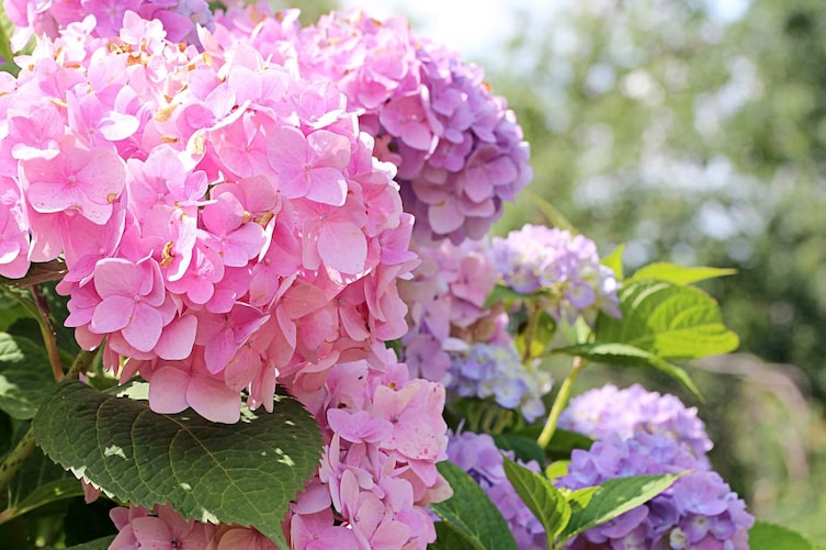 Garten, Hortensien, blühende Hortensien