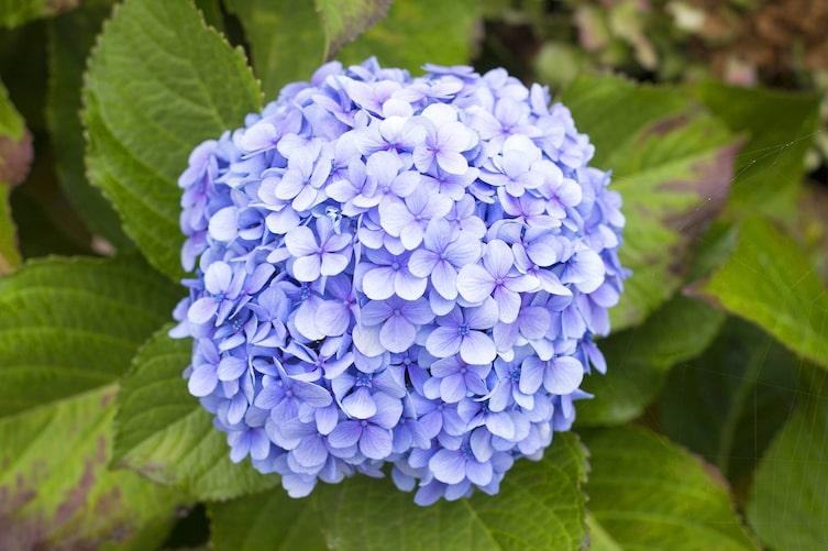 Blaue Hortensie (Bild: Mauritius Images)