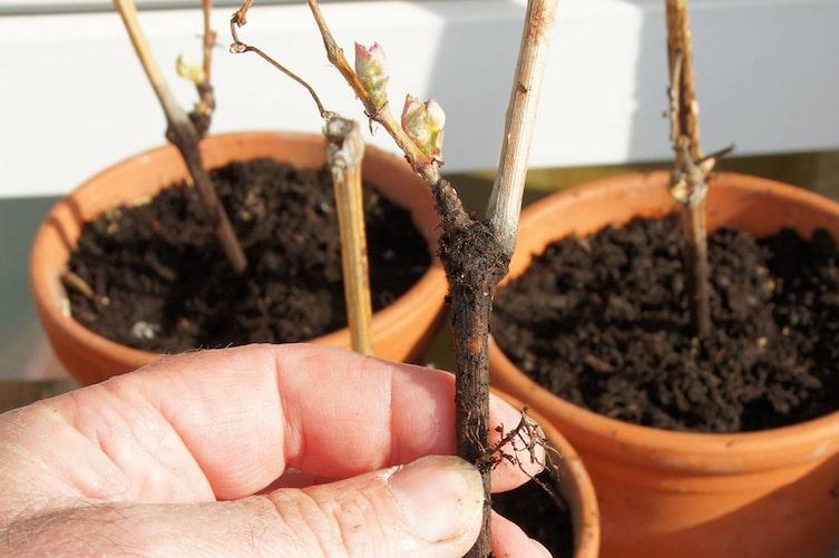 Pflanzen vermehren mit Steckhölzern, Pflanzen, Sträucher vermehren, Steckhölzer, Gartentipp