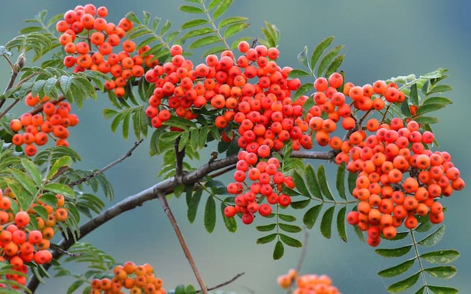 Vogelbeere, Eberesche, Pflanze, Garten