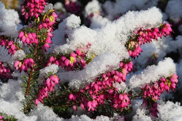 Frost und Schnee können der Winterheide nichts anhaben. (Foto: Mauritius Images)