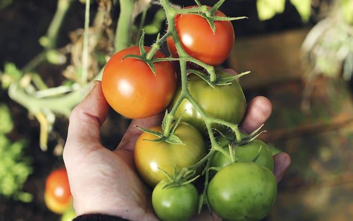 Tomaten, Garten