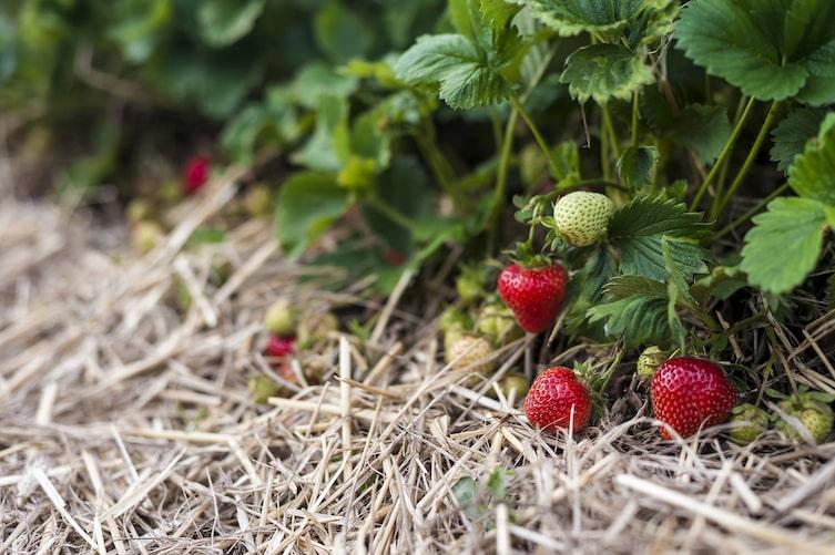 Gartenarbeit im Juni: Erdbeeren mit Stroh schützen (Bild: Mauritius Images)