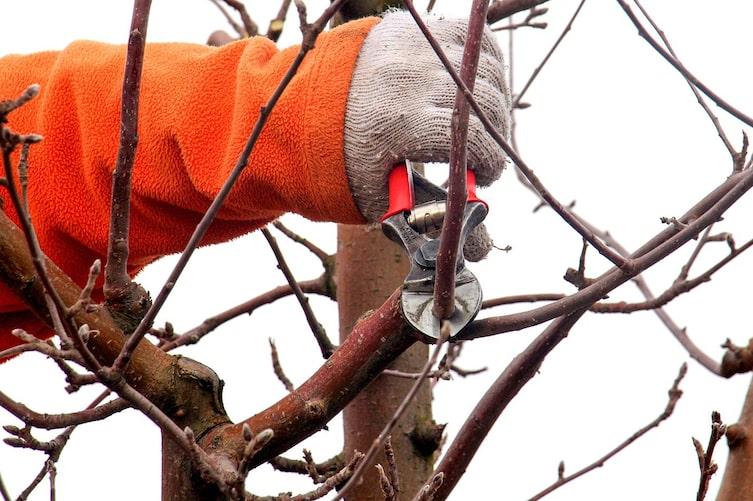 So gelingt der Schnitt vom Apfelbaum (Bild: Thinkstock).