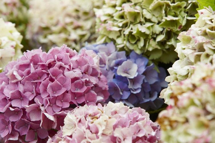 Hortensienblüten schneiden (Bild: Thinkstock)