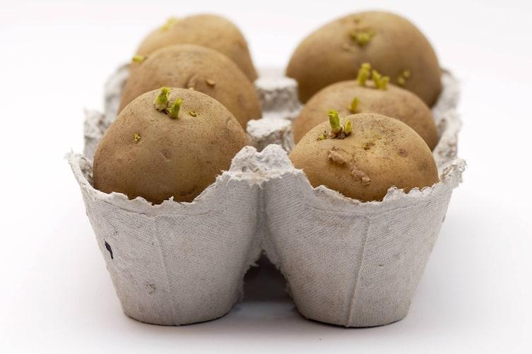 Kartoffel vorkeimen in Eierkarton (Bild: Thinkstock)