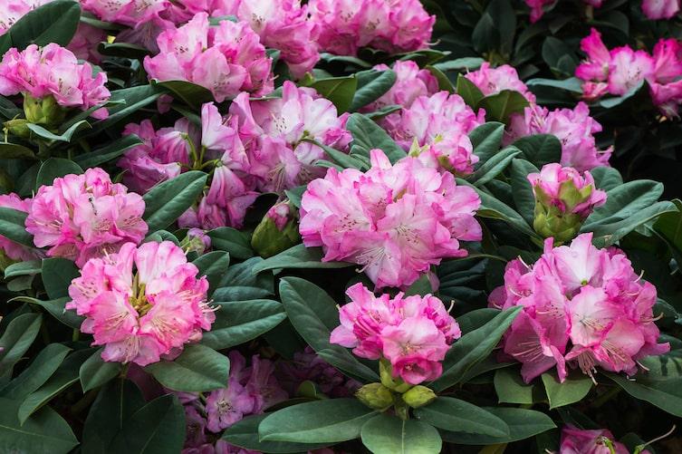 Rhododendron-Blüte (Bild: Thinkstock)