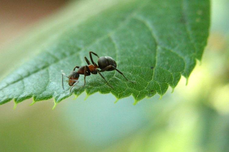 Ameise, Garten, Blatt, Insekt