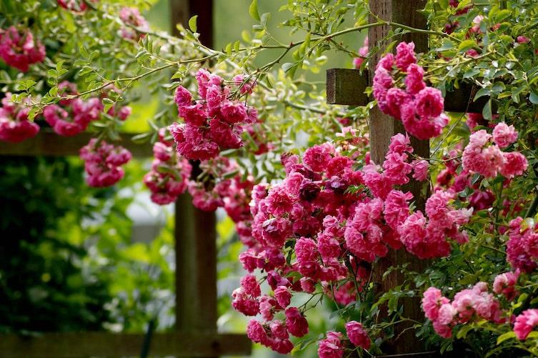 Kletterrosen pflanzen und pflegen (Bild: Pixabay)