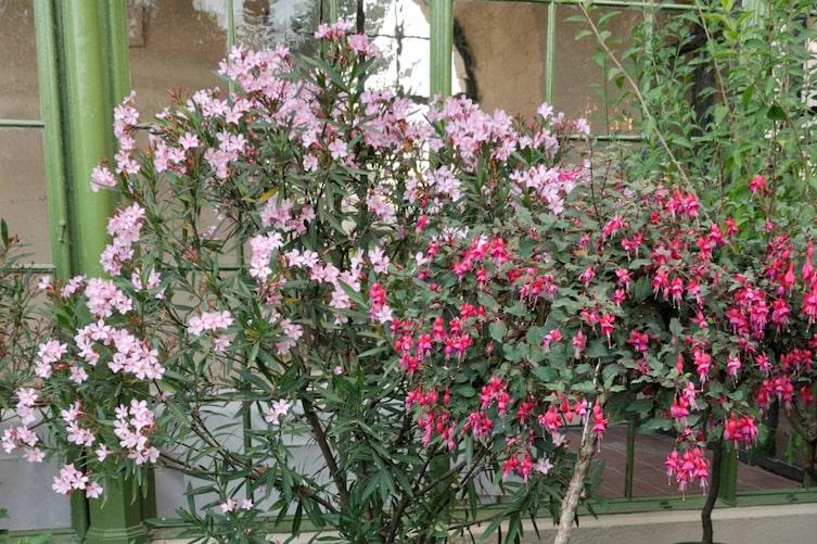 Oleander im Topf (Foto: Mauritius Images)