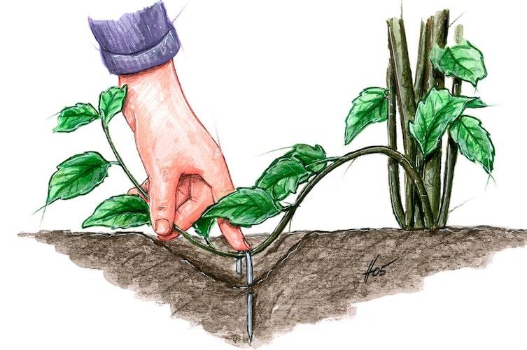 Pflanzen vermehren durch Absenker und Ableger, Pflanzen, Gartentipp