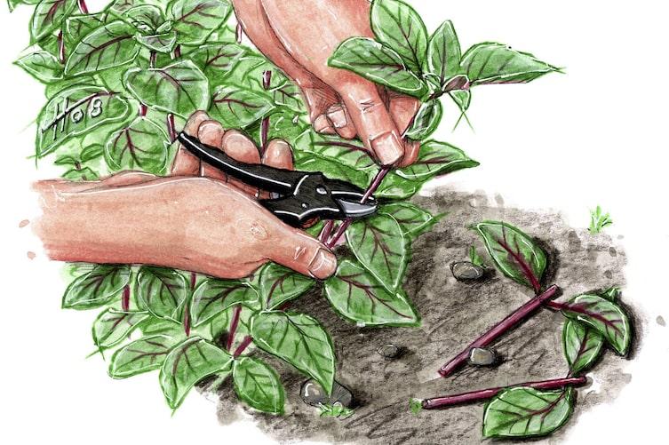 Pflanzen vermehren mit Stecklingen, Basilikum, Kräuter vermehren, Gartentipp