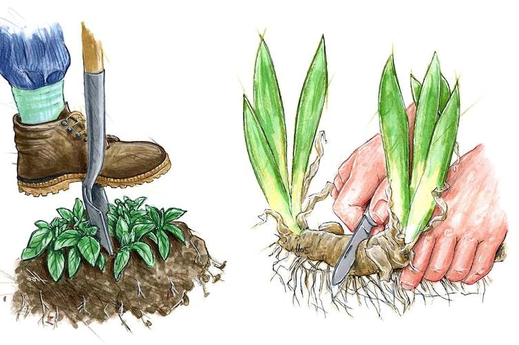 Pflanzen vermehren durch Teilung, Pflanzen vermehren, Teilung, Gartentipp