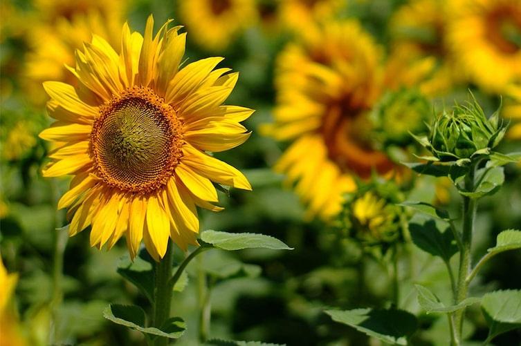 Sonnenblumen im Garten (Bild: Mauritius Images)