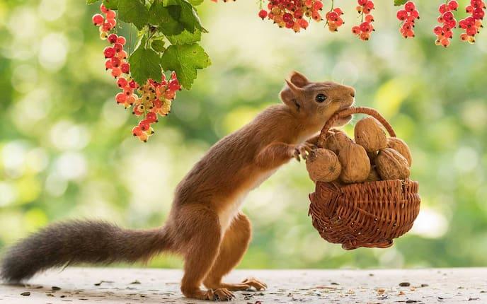 Walnüsse, Eichhörnchen, Korb, Lebensmittel