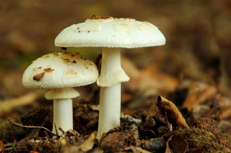 Vorsicht - giftig: Der Weiße Knollenblätterpilz (Foto: Mauritius Images)