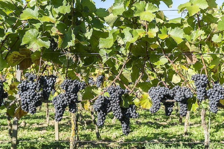 Weinwissen, Wein, Wissenswertes über Wein, Weinkultur