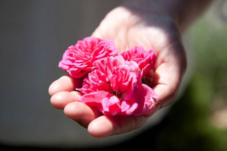 Roseblüten, Rosen, Blumen, Blüten