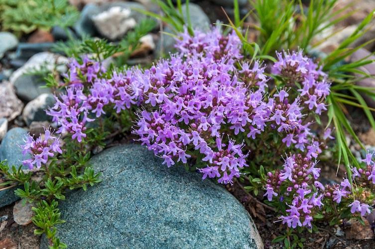 Quendel, Feld-Thymian, Heilpflanze, Heilkräuter, Naturapotheke