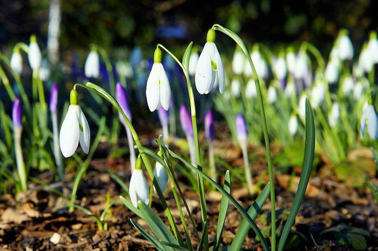 Schneeglöckchen, Krokus, Frühlingsblumen