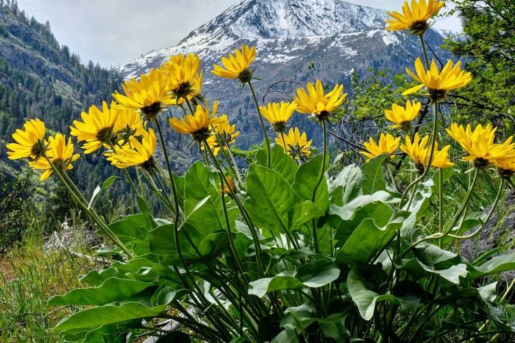 Arnika, Heilpflanze, Heilkraut, Naturheilkunde, Naturapotheke, Servus, Berge