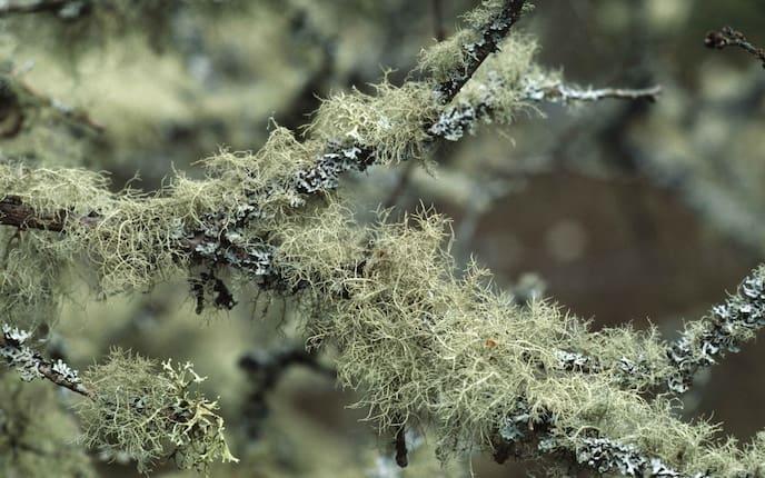 Bartflechte, Heilpflanze, Naturapotheke, Kräuter