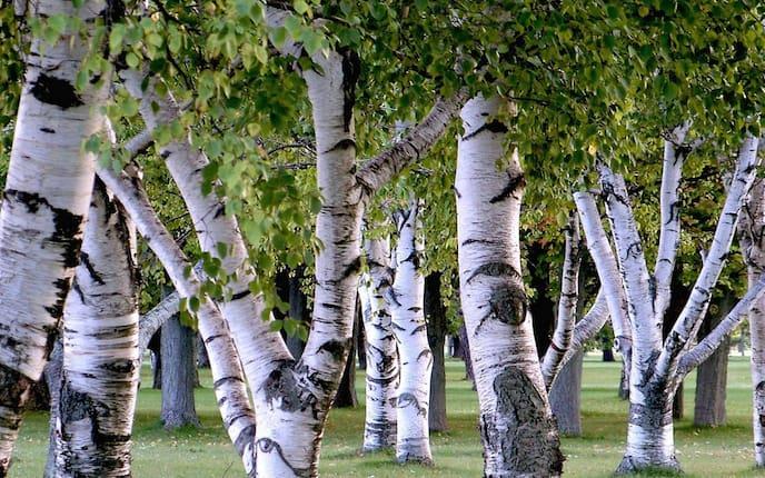 Birke, Birkenwald, Bäume